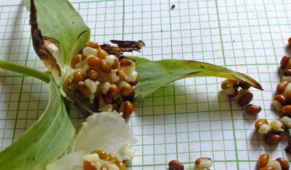 Семена триллиума крупноцветкового фото