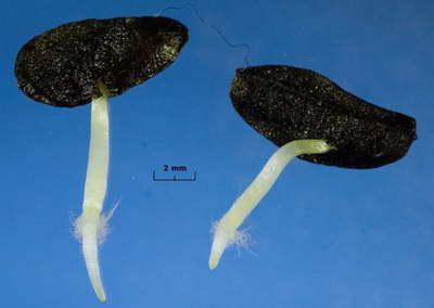 Семена валлоты фото ростков