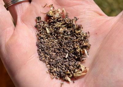 Семена венидиума фото