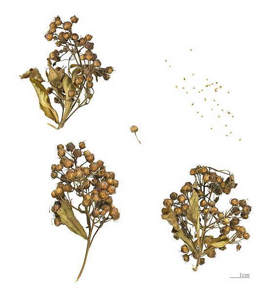 Семена вербейника фото