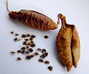 Семена вислоплодника эккремокарпуса фото