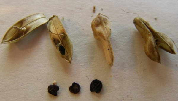 Семена якобинии фото