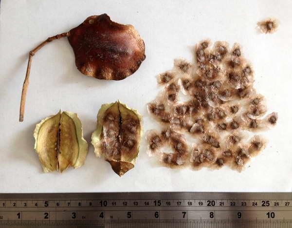 Семена жакаранды фото