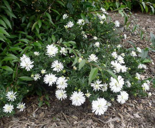 Сентябринка Сноуспрайт Symphyotrichum novi-belgii Snowsprite фото