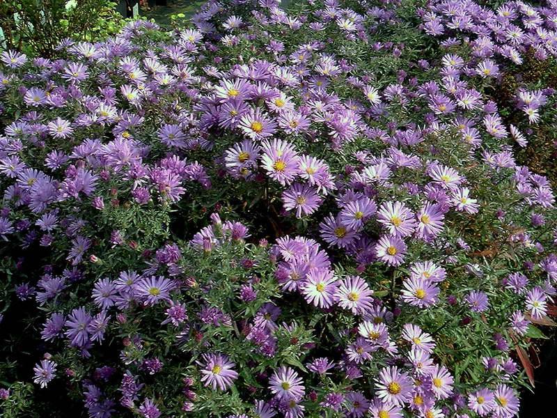 Сентябринка сорт Одри Symphyotrichum novi-belgii Audrey фото цветов