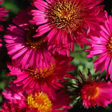Сентябринки Септембер Рубин Symphyotrichum novi-belgii September rubin фото