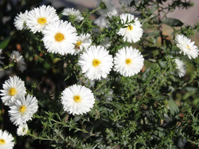 Сентябринки Вайт Ледис Symphyotrichum novi-belgii White Ladys фото