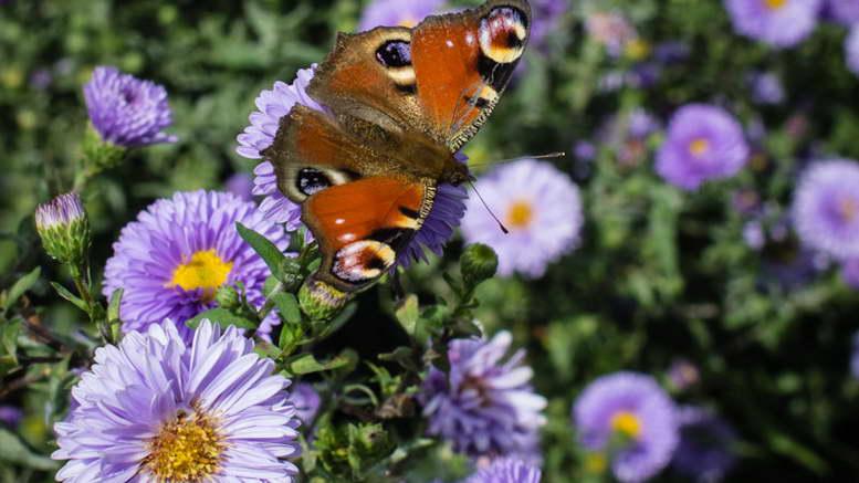 Сентябринки цветы размножение посадка и уход На фото сорт Marie Ballard