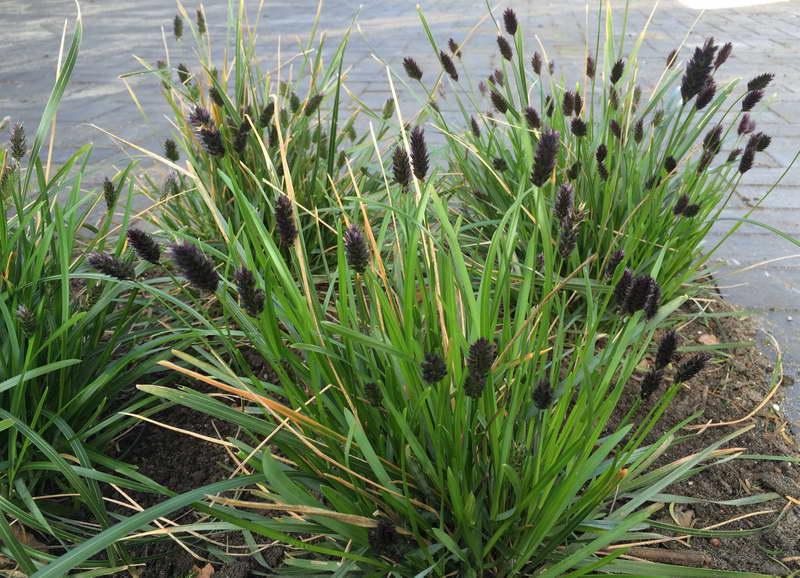 Сеслерия черноцветковая Sesleria heufleriana фото