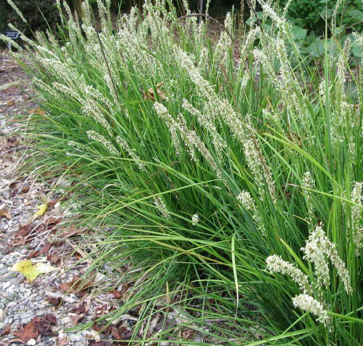 Сеслерия осенняя Sesleria autumnalis фото