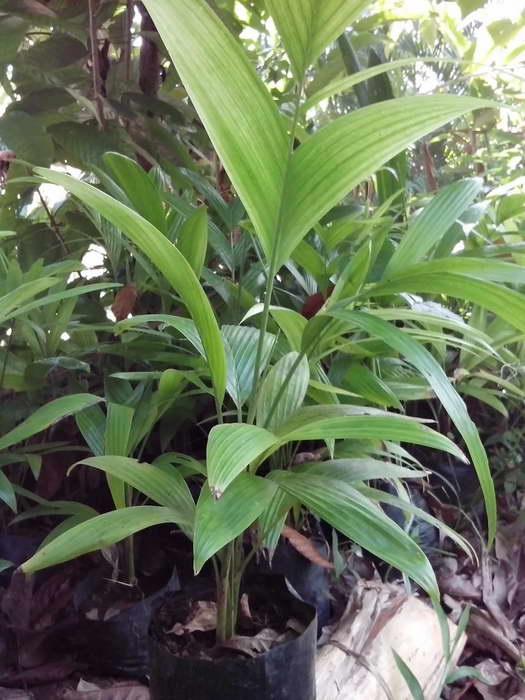 Сеянцы пальмы арека фото