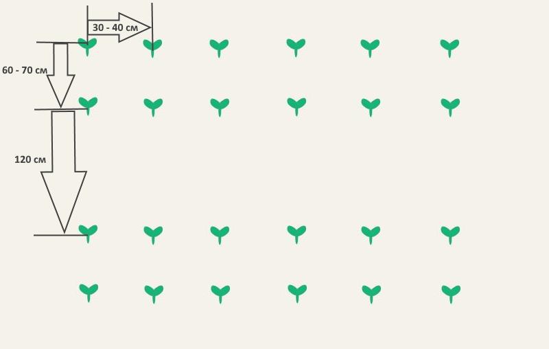 Схема посадки кабачков в открытом грунте