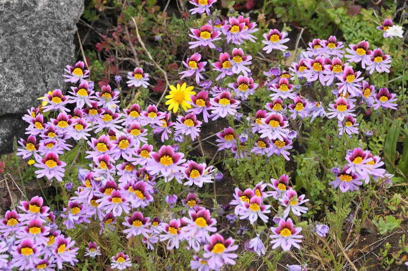 Схизантус литоралис Schizanthus litoralis фото
