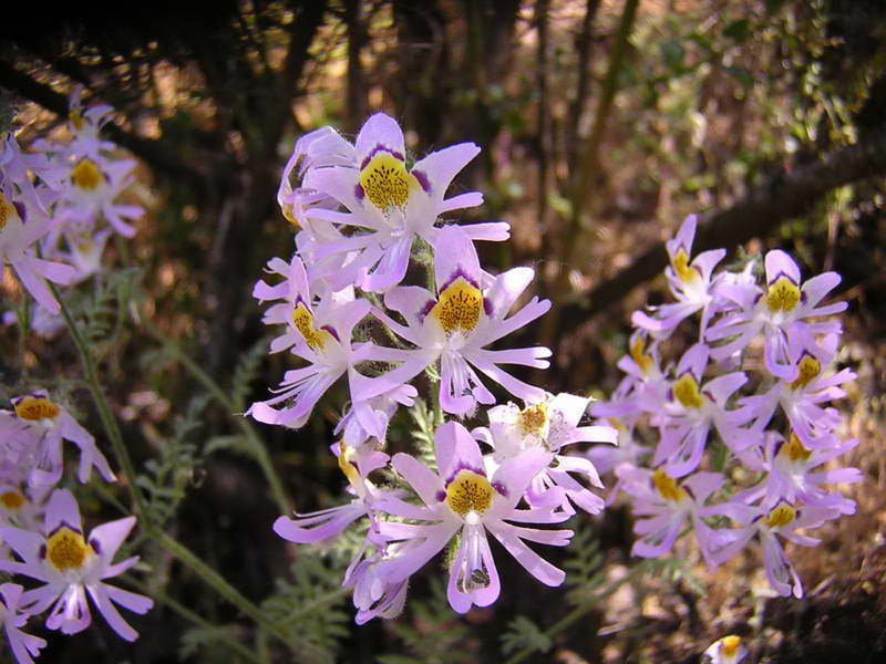Схизантус перистый Schizanthus pinnatus фото