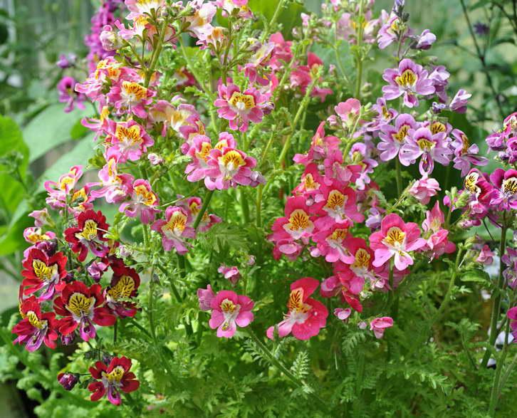 Схизантус визетонский Schizanthus wisetonensis фото