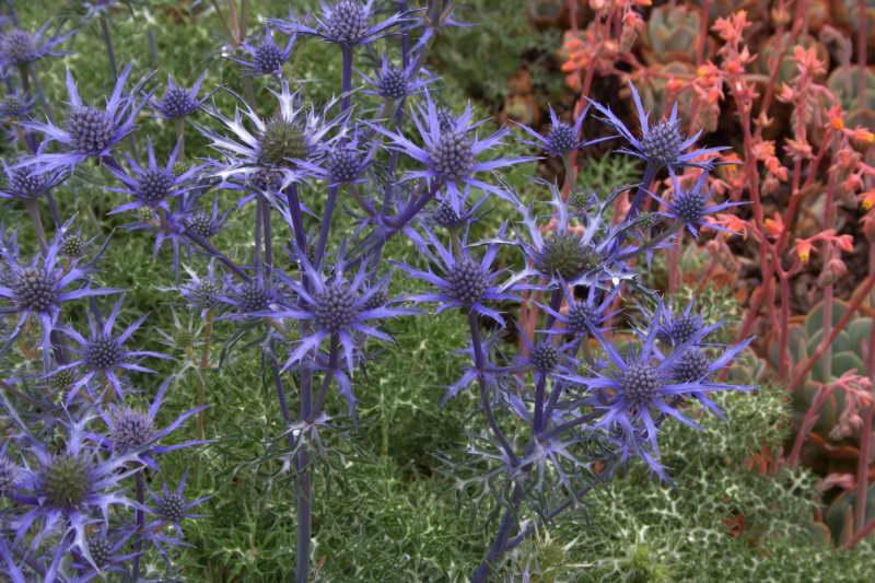 Синеголовник Бурже или Бурта или Бургати Еryngium bourgatii фото