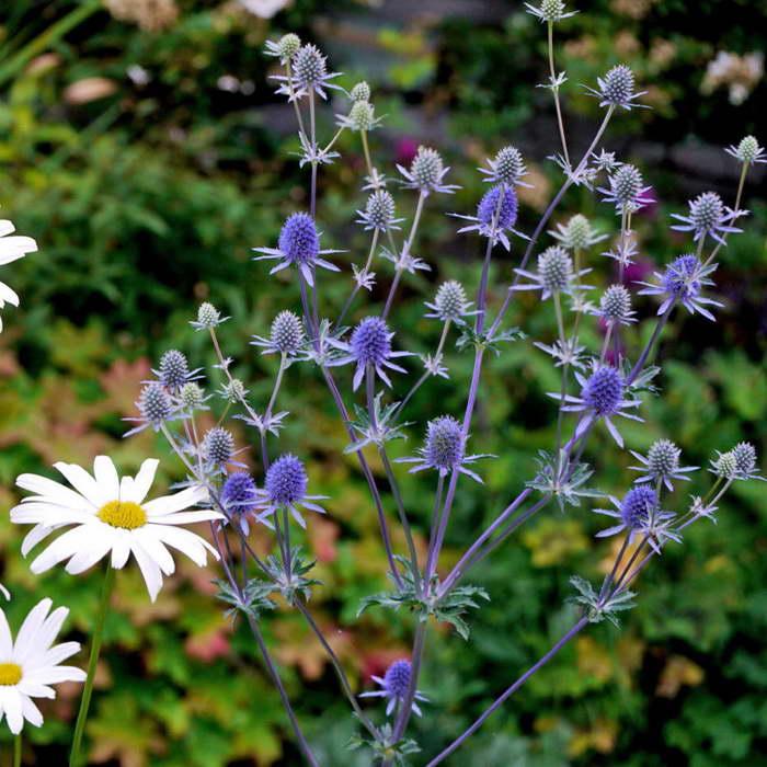Синеголовник плосколистный Eryngium planum фото