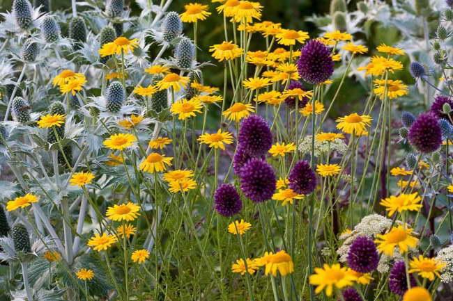 Синеголовник в ландшафтном дизайне фото с другими цветами