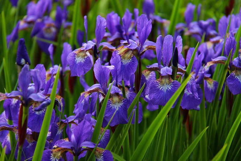 Синие ирисы в саду фото