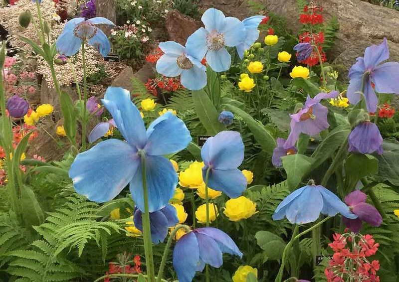 Синий гималайский мак выращивание из семян Применение в ландшафтном дизайне фото