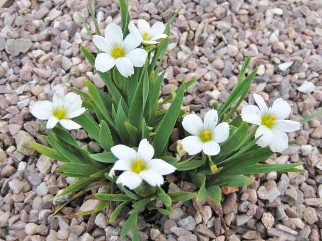 Сисюринхум белый Sisyrinchium macounii 'Album' фото цветов