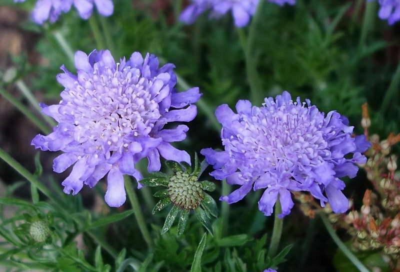 Скабиоза Scabiosa columbaria Butterfly Blue фото цветов
