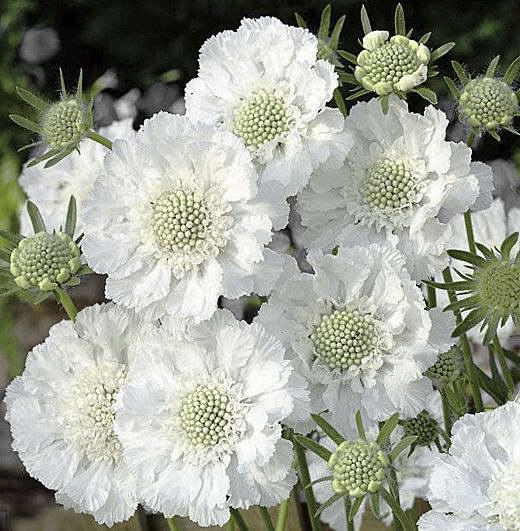 Скабиоза белая Scabiosa caucasica 'Miss Willmott' фото