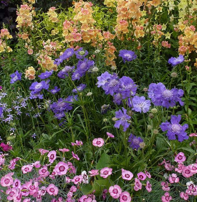 Скабиоза кавказская Scabiosa caucasica Fama Blue с другими цветами фото