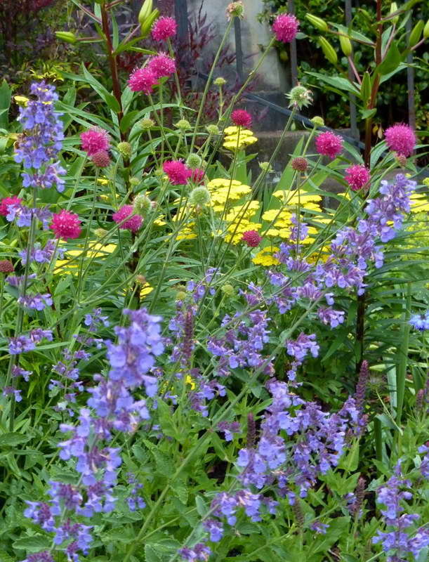 Скабиоза на клумбе с другими цветами Nepeta 'Walker's Low', a rose-colored scabiosa and Achillea 'Moonshine' фото