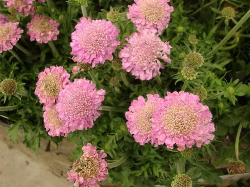 Скабиоза розовая Scabiosa columbaria Pink Mist фото