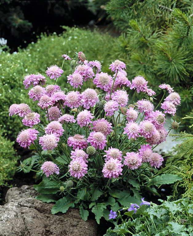 Скабиоза японская Scabiosa japonica var. alpina, 'Pink Diamonds' фото