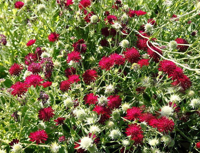 Скабиоза злаколистная Scabiosa graminifolia 'Burgundy Bonnets' фото