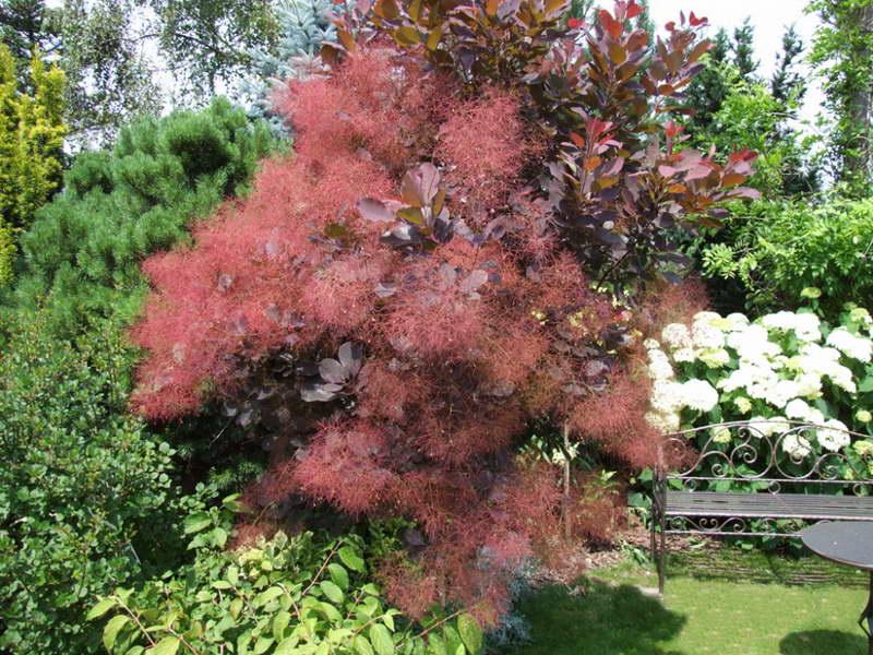 Скумпия кожевенная foliis purpureis фото