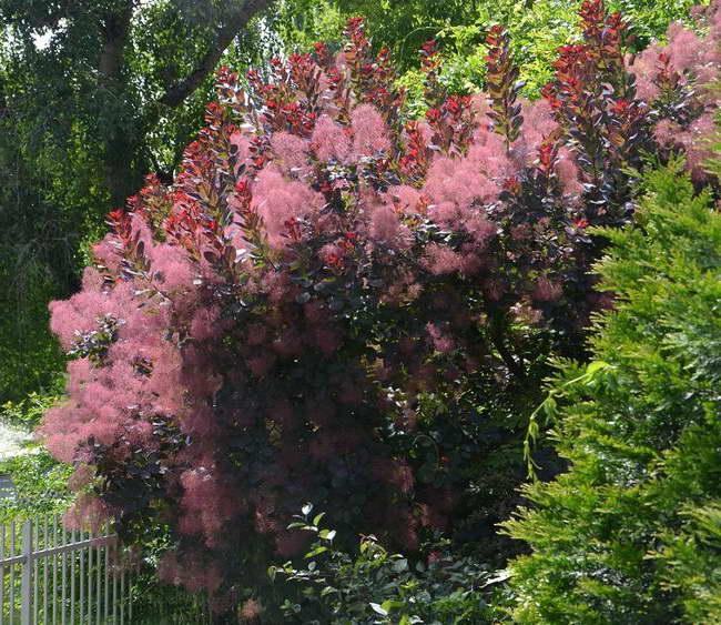 Скумпия кожевенная в саду фото