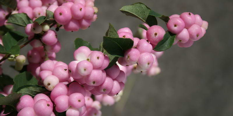 Снежноягодник розовый описание Symphoricarpos Magical Pride Посадка и уход фото