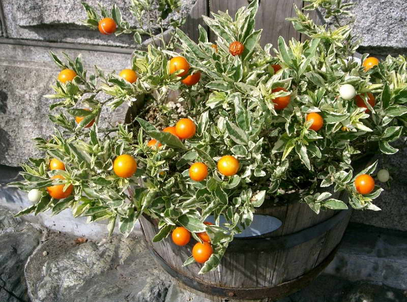 Соланум съедобны ли ягоды