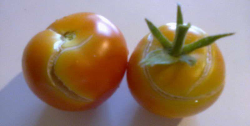Сорт томата Денежный мешок фото и описание