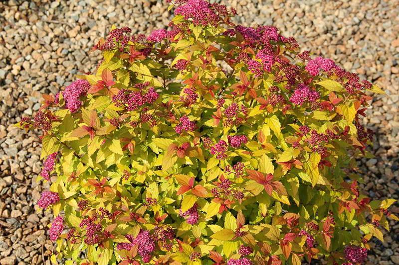 Спирея японская Голдфлейм Spiraea japonica Goldflame фото в саду