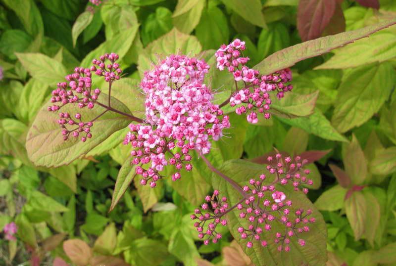 Спирея японская Макрофила Macrophylla фото в саду