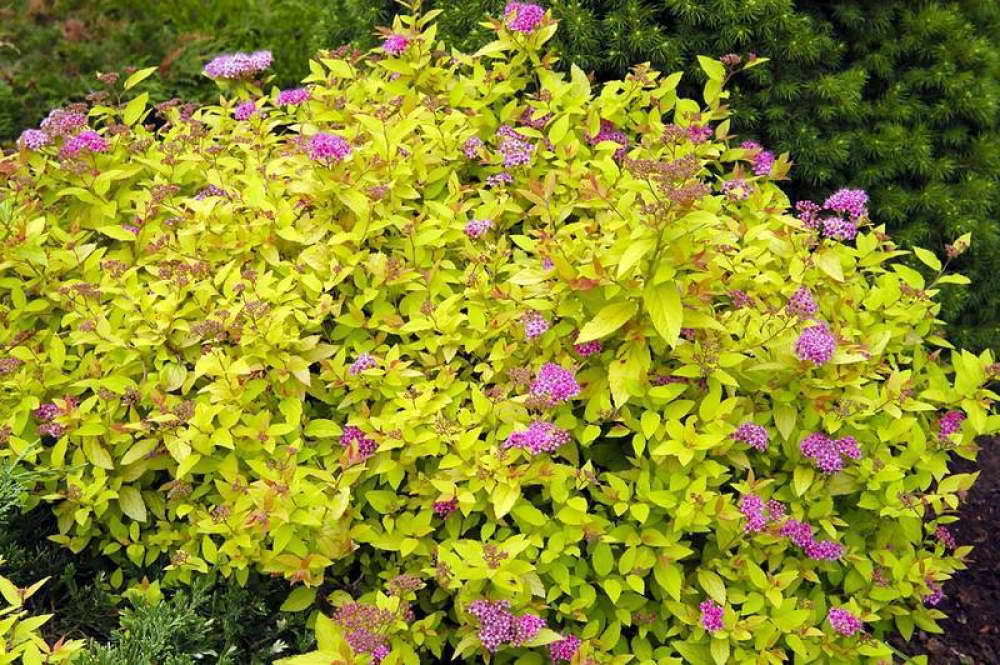 Спирея японская Spiraea japonica 'Golden Princess' фото в саду