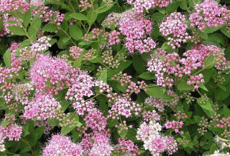 Спирея японская сорт spiraea japonica little princess фото