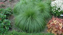 Споробол раскидистый выращивание из семян посадка и уход фото