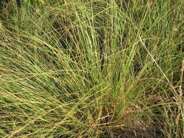 Споробол воздушный Sporobolus airoides = Sporobolus asper = Sporobolus compositus фото
