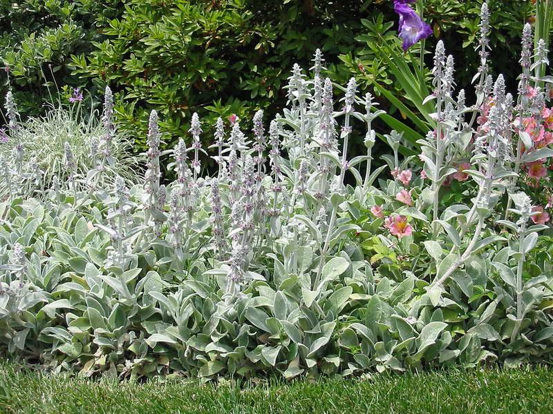Стахис шерстистый в саду фото