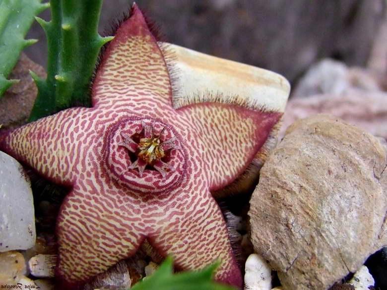Стапелия изменчивая Stapelia mutabilis фото цветения