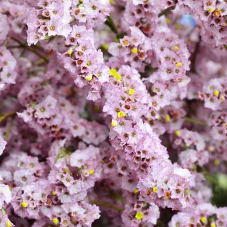 Статица китайская Limonium sinensis фото