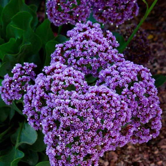 Статица широколистная Limonium latifolium фото