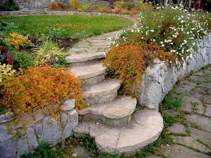 Стефанандра осенью приобретает красивый золотистый оттенок фото