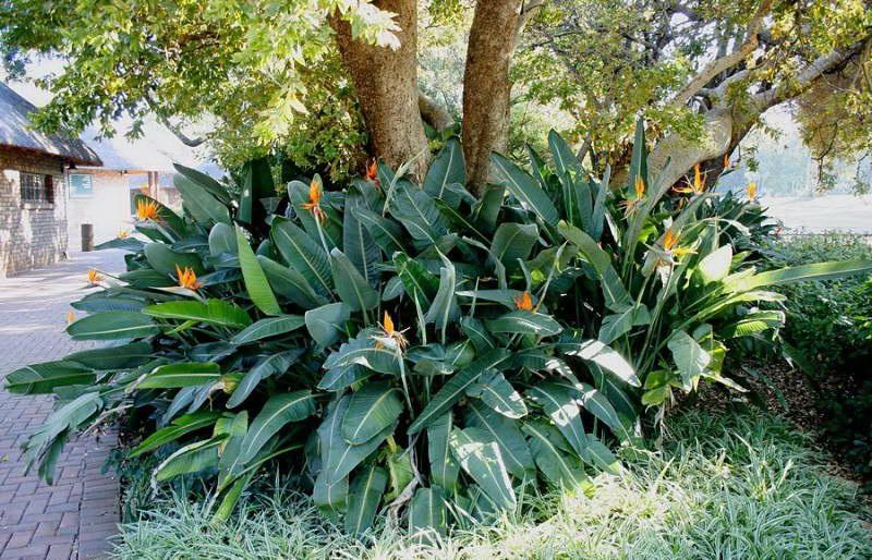 Стрелиция королевская или райская птица Strelitzia reginae фото