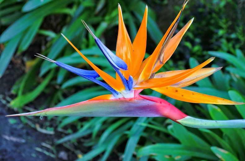 Стрелиция королевская или райская птица фото цветения